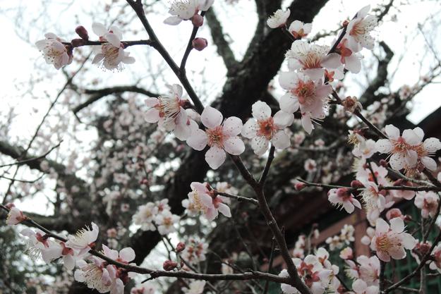 梅の花。東北の春ももうすぐ。